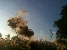 Thistledown at dawn at Marble Hill Park